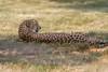 Cheetah 003