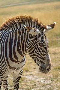 Grevy's Zebra 002
