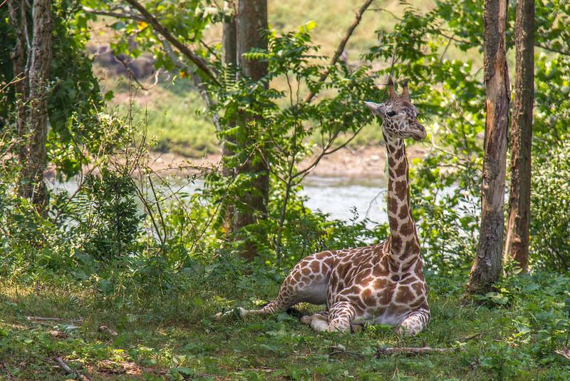 Giraffe Baby 003