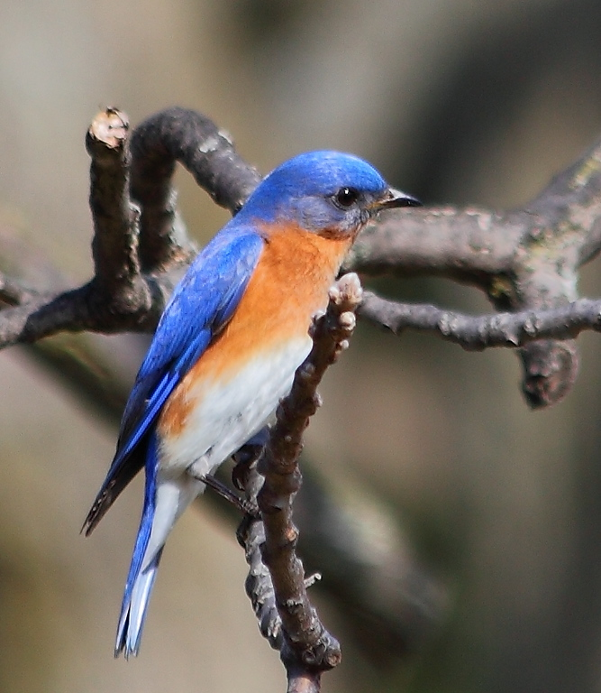 Bluebird in my yard, early spring.