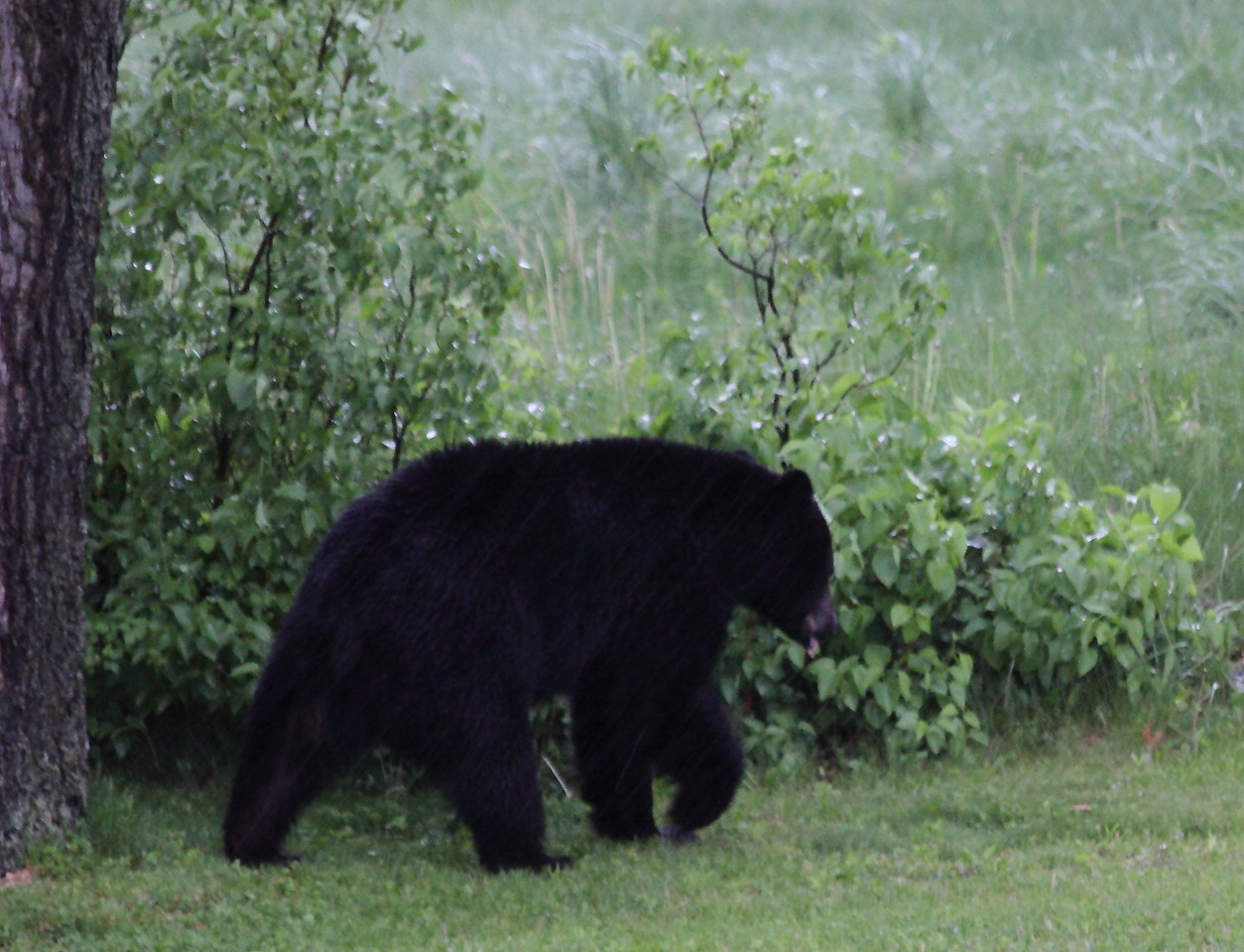 Black bear at the back edge of my yard after being chased away from the bird feeder he pulled down.