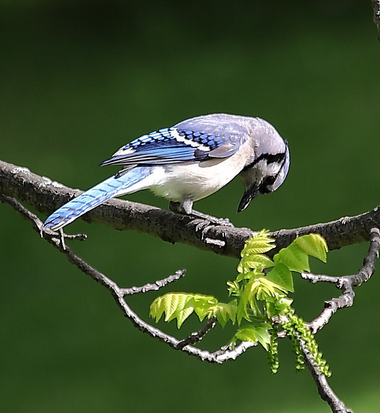 Blue jay cracking a sunflower seed