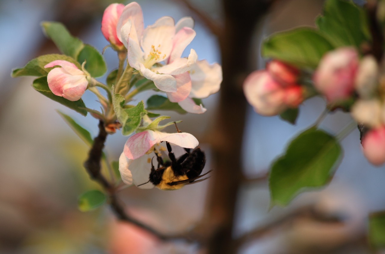 Bumblebee queen (Bombus impatiens) on blossoms of our red delicious apple tree