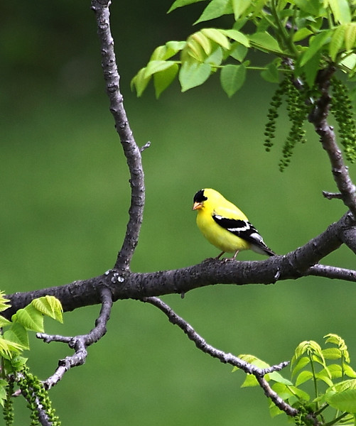 Goldfinch in one of my walnut trees