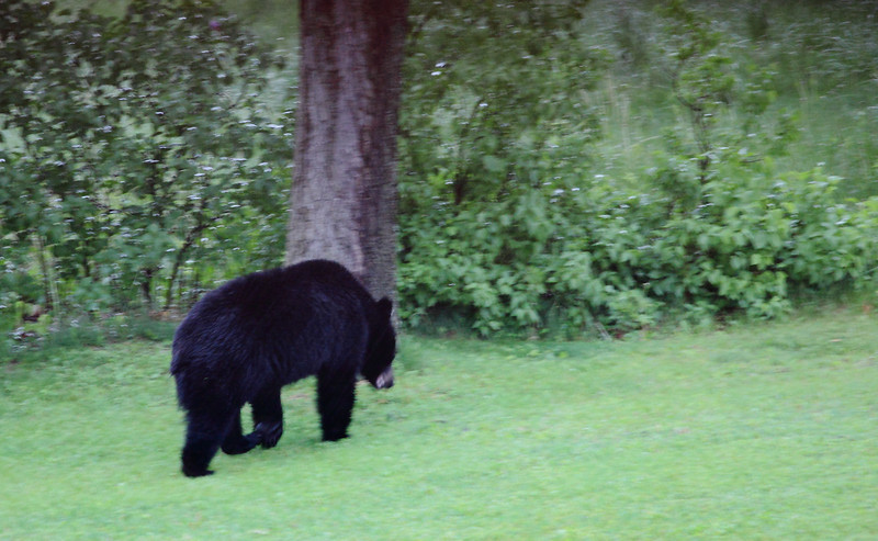Black bear exiting my yard after being chased away from the bird feeder he pulled down.