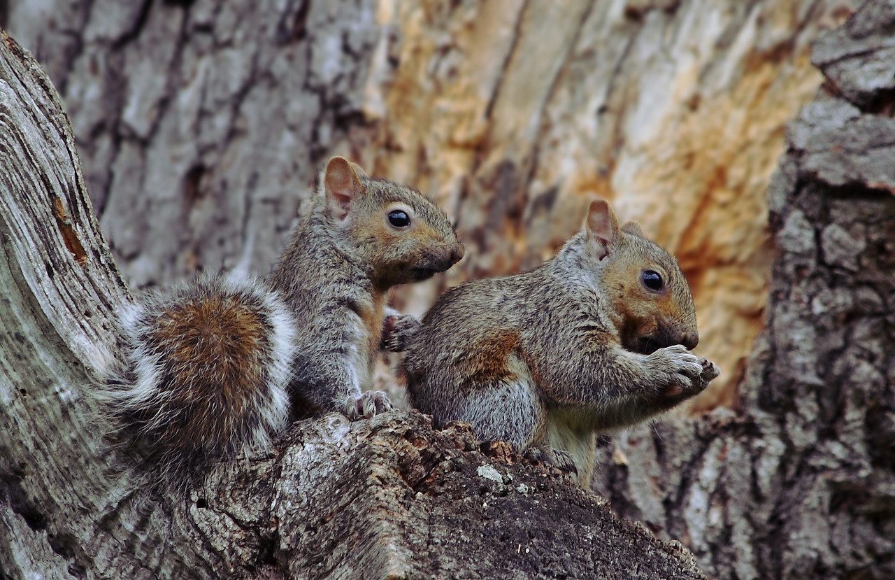 Pair of baby grey squirrels in their first week out of the nest in our big oak tree