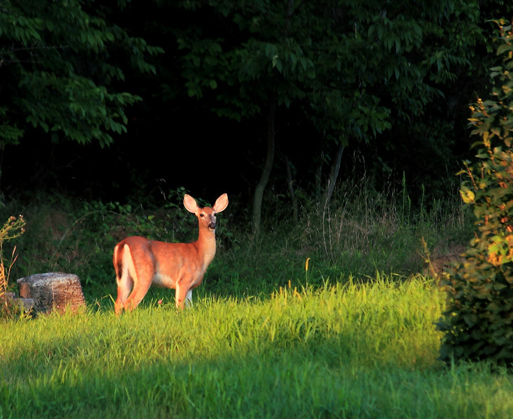 White tailed deer in perfect late evening light