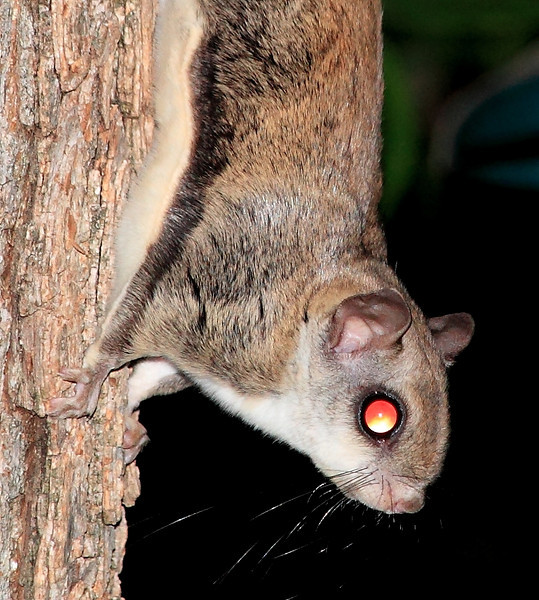 Flying squirrels are now regular nocturnal visitors to our bird feeders.  Every night at about 11pm they show up.  Just about the cutest, coolest little creatures ever.