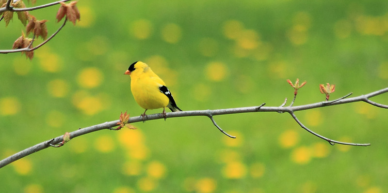 Great reason not to mow your lawn #74: Goldfinches go nicely with dandelions
