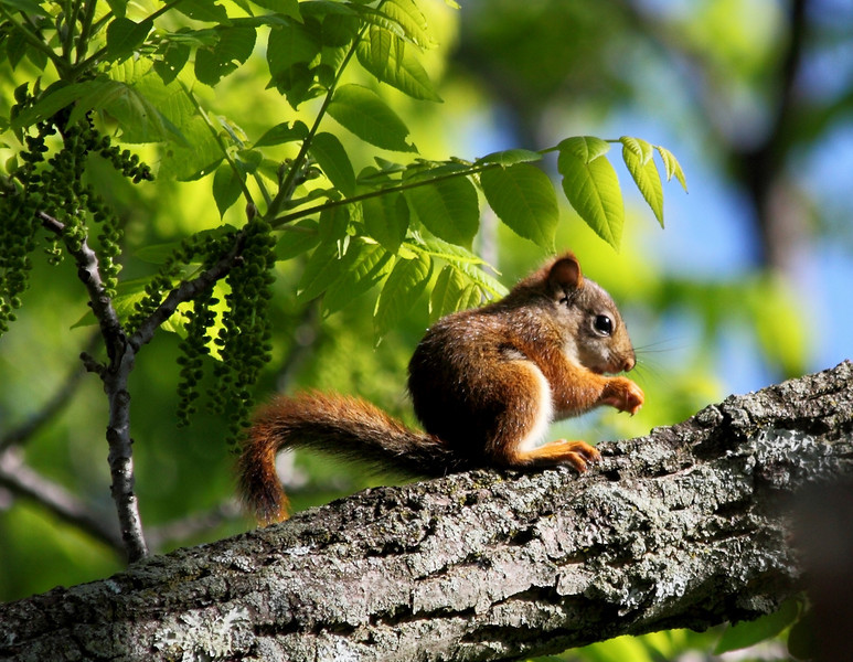 One of a pugnacious gang of four baby red squirrels that in late May took over a grove of walnut trees where we hang our bird feeders.  Here it is eating walnut flowers.