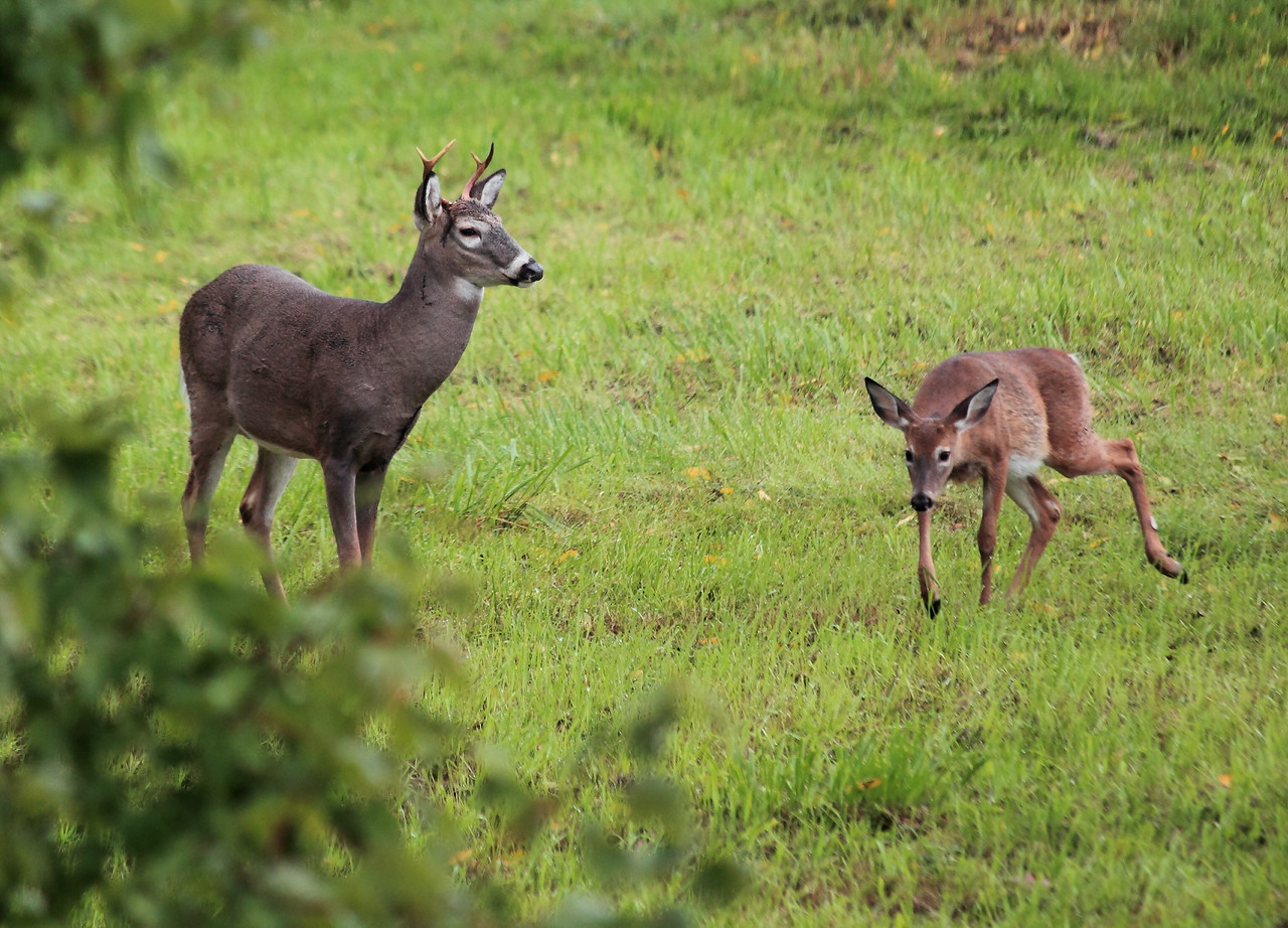 Buck and young white-tailed deer who come to my yard to eat fallen apples