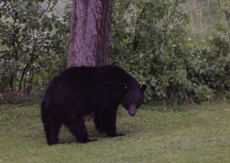 Black bear looking wistfully back at the bird feeder he pulled down.