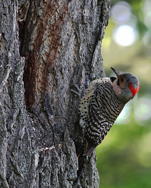 Flicker at its nest hole in a walnut tree in my yard