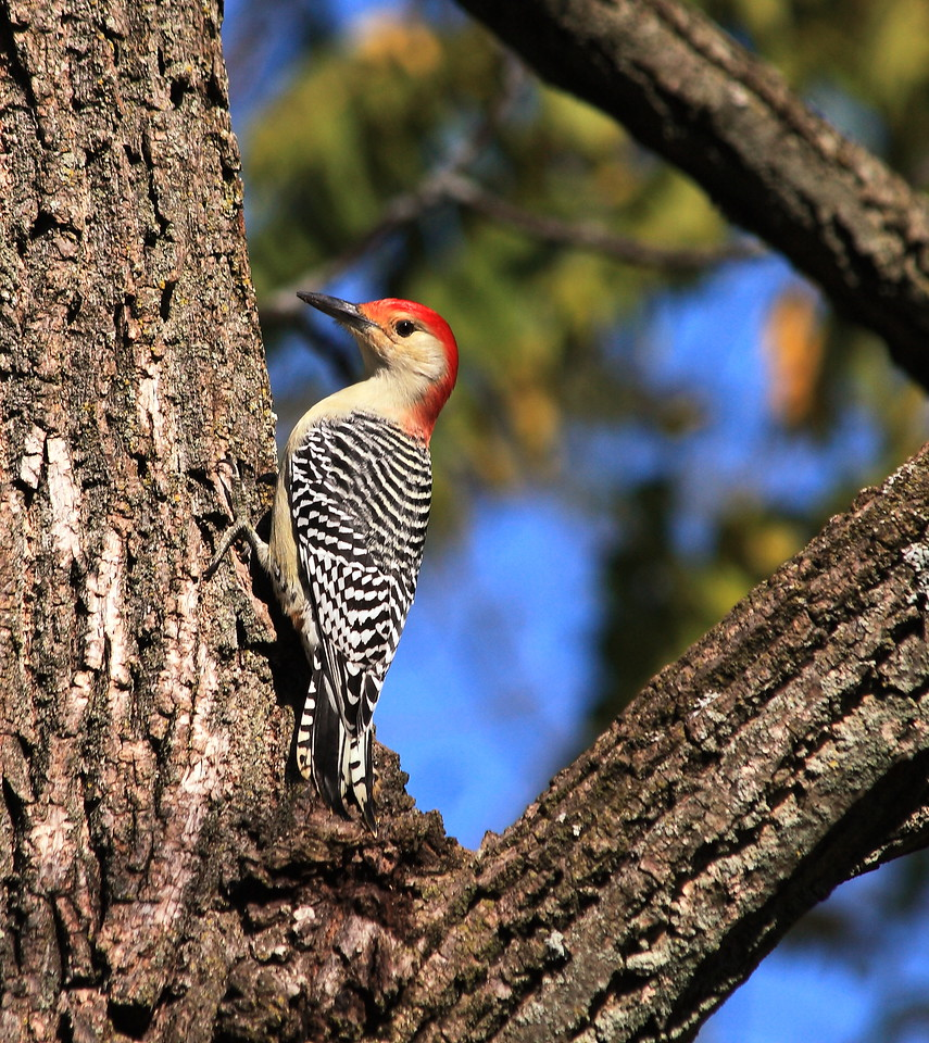Red bellied woodpecker (Melanerpes carolinus).  This one fills its mouth with sunflower seeds at our bird feeder, then caches the seeds in cracks in the bark on the surrounding walnut trees.  It flies back and forth doing this all day (early October).