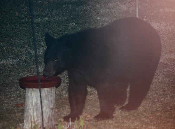 This was the second time we saw this bear in March.  He's big, clam, well behaved and has no ear tags or radio collar. Our bird feeders are hung out of reach but still these animals come regularly to drink from the bird baths.  While I was uploading this photo, a different bear with a radio collar came by and knocked over the bird bath, something he has done before.