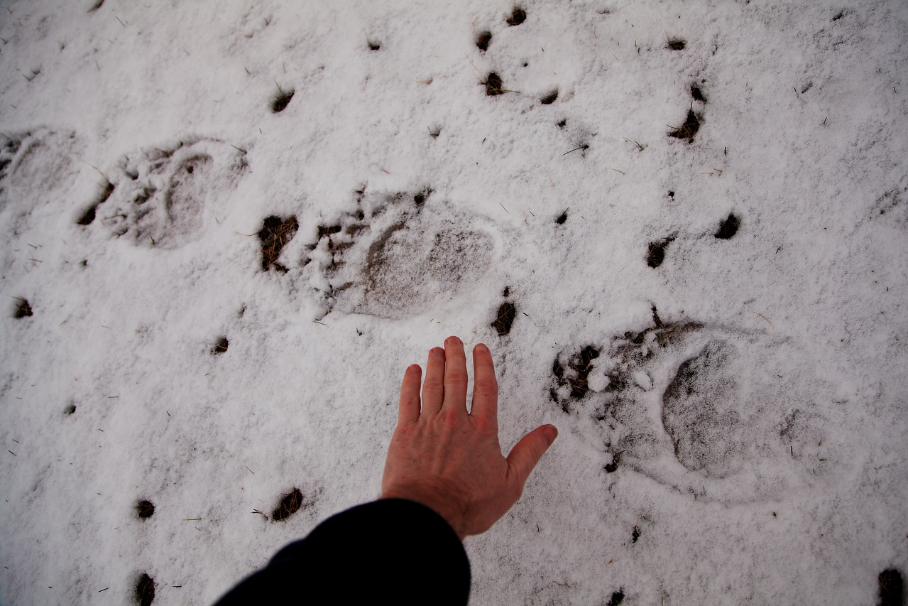 The bears began visiting my yard this year on about March 20.  A nice big one left these footprints just a couple of feet from the back of my house.  Its very cool but also kind of chilling to walk out the back door and find these huge prints right there.