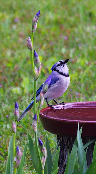 Blue jay at our birdbath