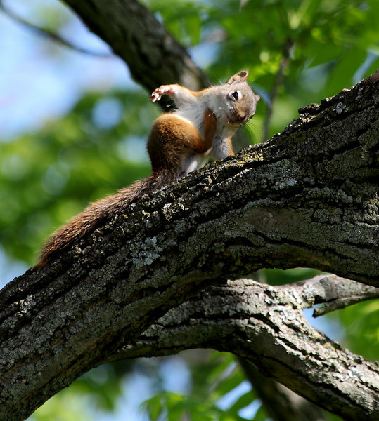 One of a pugnacious gang of four baby red squirrels that in late May took over a grove of walnut trees where we hang bird feeders.