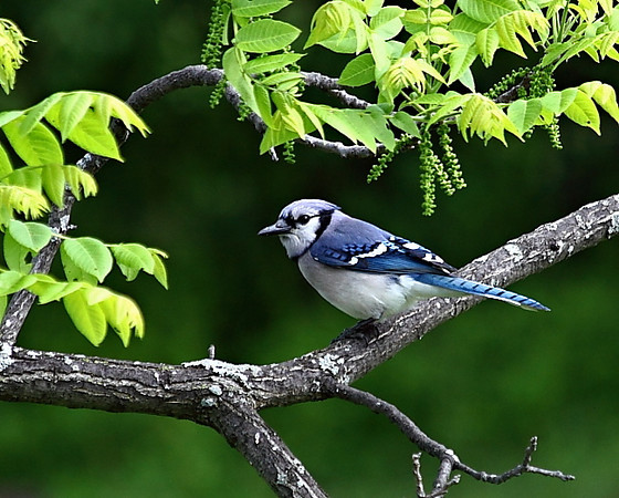 Blue jay in my walnut tree