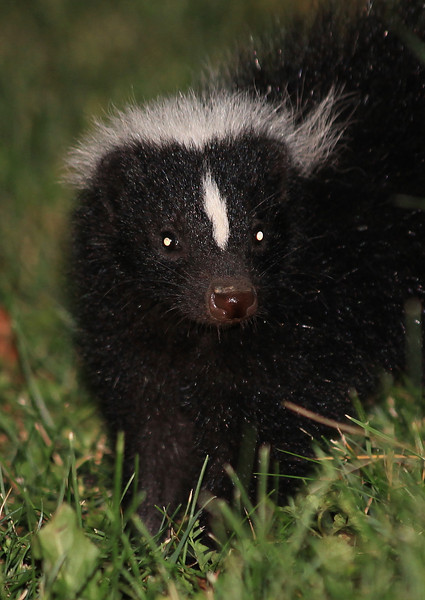There is a cute adolescent skunk who regularly comes through our yard and eats insects (primarily earwigs right now; they're really abundant this year).  It's very calm and allows me to approach closely with a powerful flashlight and continues to go about its business even when I'm taking flash photos.