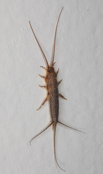 Silverfish (Ctenolepisma longicaudata) on the wall of my house
