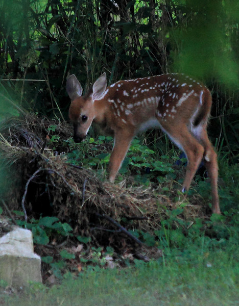 Fawn at dawn, sampling from the compost pile.