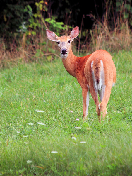White tailed deer showing off its lovely pink ears