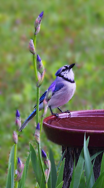 Blue jay at our bird bath.  Here I've blurred the background.