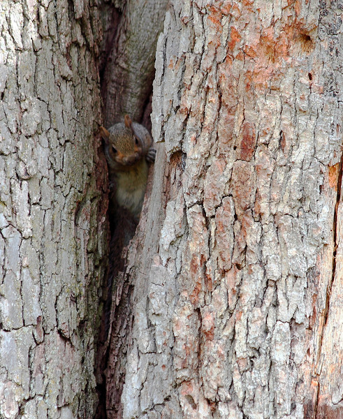 Baby grey squirrel taking its first look out of the nest inside our big oak tree
