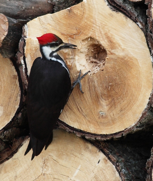 Pileated woodpecker on my woodpile