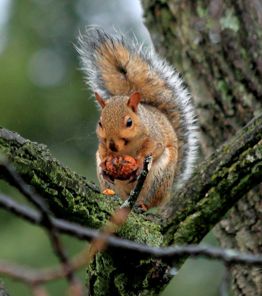 My grey squirrels have a lot of orange color, as if they're carrying some fox squirrel genes.  Here is one chewing its way into a walnut (takes about 30 minutes)..