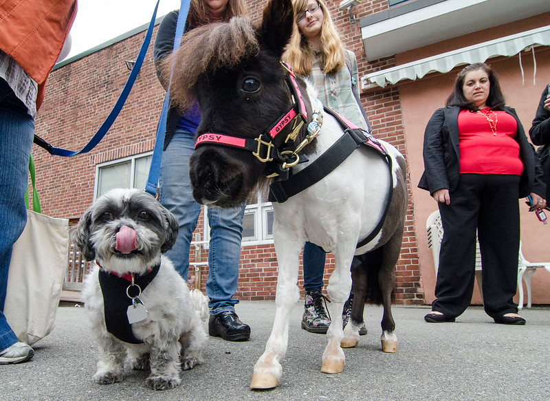 Therapy dog Gronk and mini-horse Gypsy Gold, from TheraPAWS, get ready to greet guests at the Arc of Opportunity in Fitchburg on Wednesday afternoon. SENTINEL & ENTERPRISE / Ashley Green