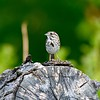 Song Sparrow on stage singing.