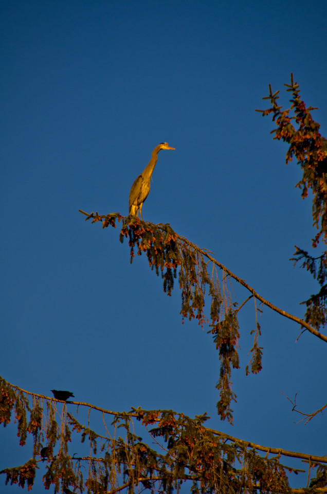 A great blue heron perched in the treetops.