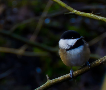 This elusive little chickadee was hiding in some low branches