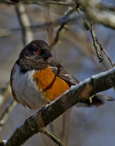 I love the red colored eye of this plump spotted towhee.
