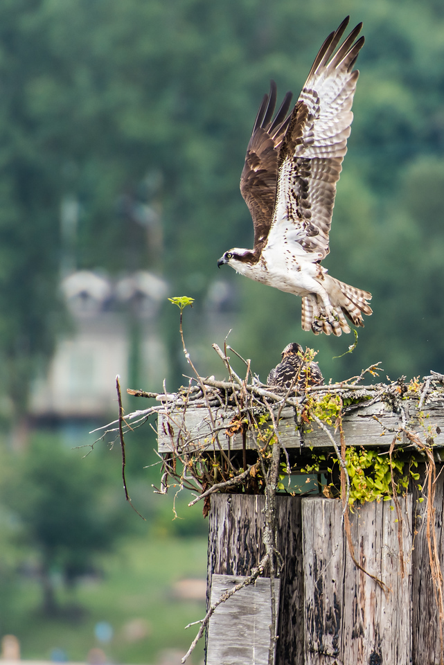 This Osprey parent leaps from the nest to search for more food for it's chick.