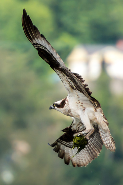 There is a family of 3 Osprey at Rocky Point Park in Port Moody.  This is one of the parents bringing food for it's chick, who is almost old enough to start flying.