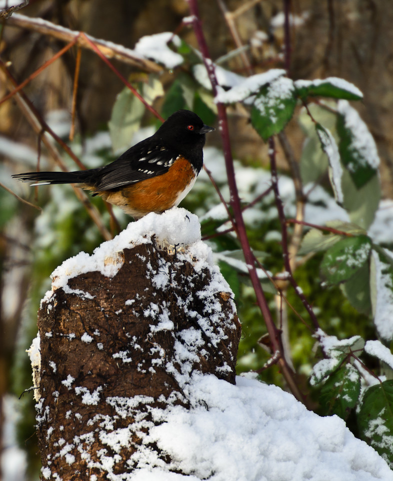This red eyed critter perched on the snow covered log as if he knew I was taking his picture.  Thank you 400mm!