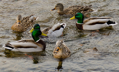 More mallards going for a wee swim.
