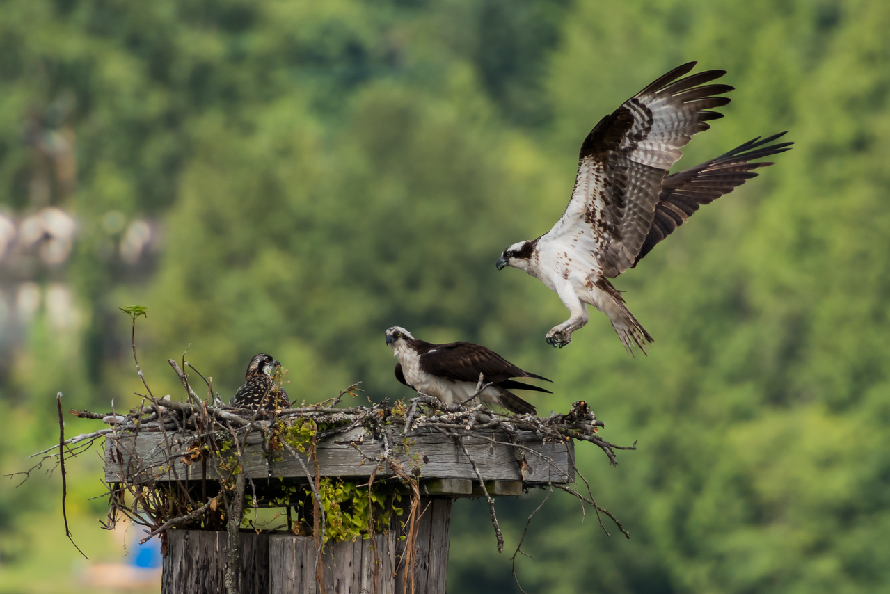 The Osprey parent comes home to his family.  What's for dinner?