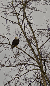 This bald eagle was stalking the many ducks, geese and a lone blue heron in the marsh area of Rocky Point.