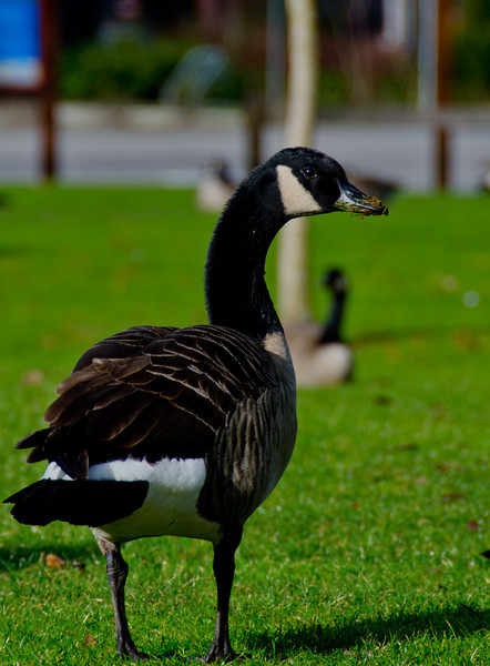 This Canada goose was digging through the grass looking for some lunch.  He got a little something on his nose.