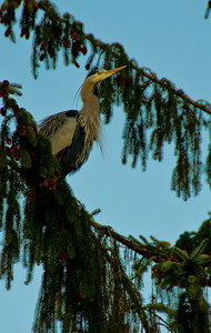 This heron is resting up in the trees where all the photographers can't bother him.