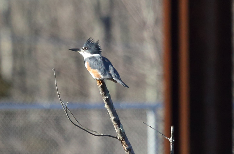 a belted kingfisher.