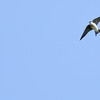 Always difficult to photograph in flight, Swallows have maneuverability & acceleration that would make a fighter pilot jealous.