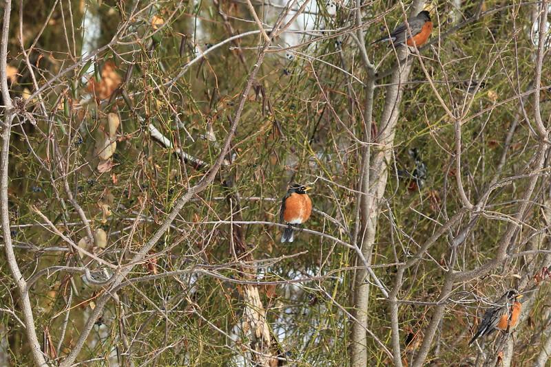 Robins hiding(?)