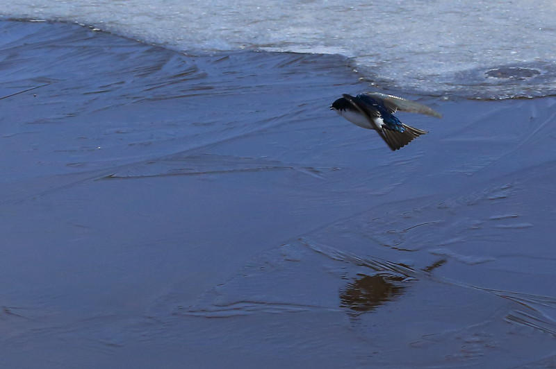 8 pictures of tree swallows that aren't sure if they trust the dark ice to hold their weight.