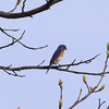 A bluebird watching for motion in a freshly plowed field near the visitors center at Plainsboro Preserve.