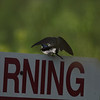 These13 shots are of a pair of tree swallows mating at Plainsboro Preserve on 8 May 2011